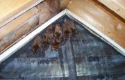 Bat in Attic Animal Proofers Removed