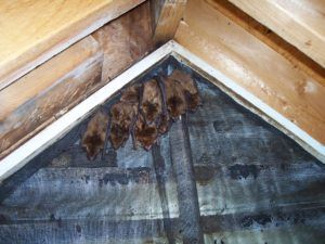 Animal Proofers Bat Removal and Exclusion