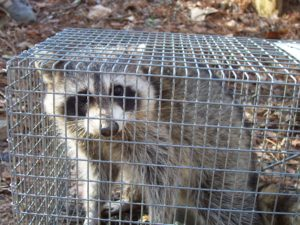 Get rid of raccoon in braselton