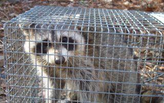 Get rid of raccoon in braselton