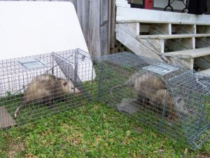 Animal Proofers Rodent Removal and Exclusion