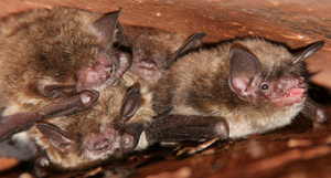 Bat exterminator braselton