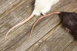 Get rid of mice and rats braselton