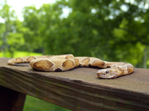 Get rid of snakes in braselton