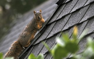 Get rid of squirrels braselton