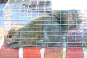 Animal Proofers specializes in the removal of grey squirrels and flying squirrels.