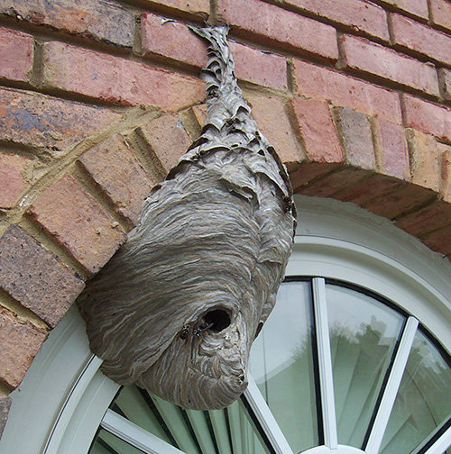 Paper wasps on soffit of home in Suwanee