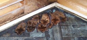 Bat Removal Braselton